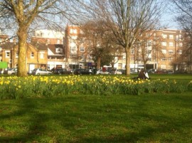 Clapham Common Daffodils